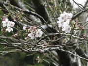 20090321sakura